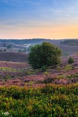 A heather landscape in portrait orientation (nldazuu.com) Tags: heidelandschap nldazuufotografeertcom natuur natuurmonumenten landschap veluwezoom heath heide herikhuizerveld gelderland davezuuring heather posbank rheden 3ekeer
