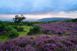 Porlock Bay Heather Dawn