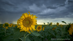 Sunflowers always brighten the Day (Denverphotoscapes) Tags: byers colorado sunflowers sunflowerfield cloudporn storm flower flowerfield phaseone captureonepro iq3100 100mpclub plants plant tracheophyta tracheophytes vascularplants annual sunflower twilight business capitalism commerce enterprise mercantilism trade agriculture farm farms farming farmmanagement familyfarm usa