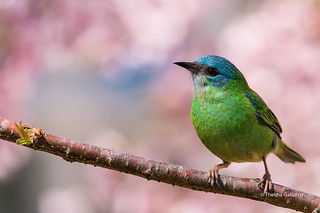 Blue Dacnis on a sakura tree