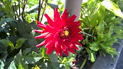 WP_20170901_13_53_26_Rich (PureView Life) Tags: nokia lumia 1520 nokialumia nokialumia1520 lumia1520 pureview carlzeiss wp wp81 windowsphone windowsphone81 flower flowers red