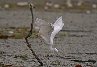 Little Blue Heron: Egretta cerulea - immature -