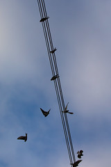 Birds Of A Feather (Pittypomm) Tags: 2017project52 week34 birdsofafeather silhouette housemartins delichon urbica bird birds wire wires flying resting perching roosting roost fly flight