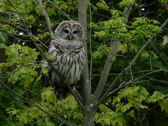 Barred Owl (Dendroica cerulea) Tags: barredowl strixvaria strix strigidae strigiformes aves bird owl summer wildlifeobservationcenter greatswamp greatswampnationalwildliferefuge greatswampnwr morriscounty nj newjersey