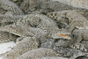 matanzas-23.jpg (BradPerkins) Tags: crocodilefarm crocodile cuba animals