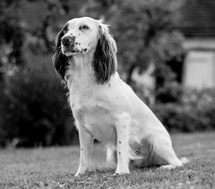 Extracting some more from the holiday snaps ! (TrevKerr) Tags: englishspringerspaniel spaniel springer pup dogportrait monochrome nikon d3s nikon50mmf18
