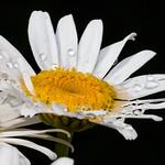 Margerite mit Regentropfen - Leucanthemum with Raindrops thumbnail