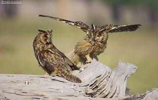 The Long-eared owls.