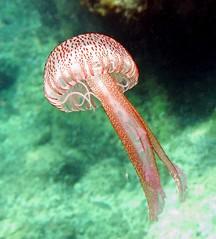 Pelagia noctiluca (explored) (jeanmarie.gradot) Tags: méduse jellyfish calp calpe méditerranée snorkeling costablanca medusa mediterranean coth explore explored