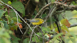 Blue-winged_Warbler_8247an