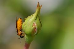Gelbe Rosen-Bürstenhornblattwespe , NGID728302161 (naturgucker.de) Tags: ngid728302161 naturguckerde argeochropus höhnschönbergundumgebung celkesinaga