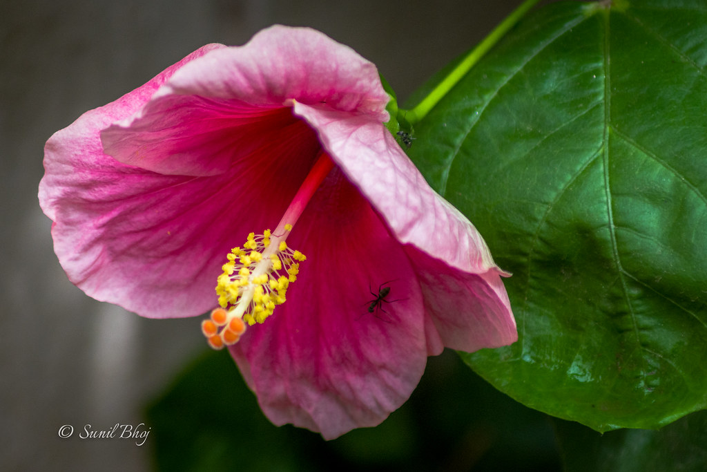 The World\'s Best Photos of hibiscus and india - Flickr Hive Mind