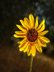 Wild Sunflower (http://fineartamerica.com/profiles/robert-bales.ht) Tags: forupload gemcounty haybales idaho people photo places plants projects states sunflowers sunflower flower yellow blackbackground helianthusannuus annual americas inflorescence sunflowerseeds compositeflower florets pedals singlehead sunfloweroil wild closeup blossom bloom beautiful petal daisy pollen floral nature outdoor beauty wallpaper springaster maroon orange woody perennial stateflower kansas wildflower phonecase robertbales