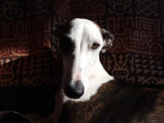 EyeEm Selects Pets Domestic Animals One Animal Dog Animal Themes Indoors  Mammal Home Interior No People Close-up Sitting Portrait Day Daylight Adorable Whippet EyeEmNewHere Pet Portraits The Week On EyeEm Natural Light Looking At Camera Eyes Watching You (Michail Paschalidis) Tags: eyeemselects pets domesticanimals oneanimal dog animalthemes indoors mammal homeinterior nopeople closeup sitting portrait day daylight adorable whippet eyeemnewhere petportraits theweekoneyeem naturallight lookingatcamera eyeswatchingyou gentle quiet
