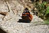 Vanessa atalanta (esta_ahi) Tags: montseny mariposa papallona butterfly lepidoptera insectos fauna vanessa atalanta vanessaatalanta nymphalidae nymphalinae nymphalini vallèsoriental barcelona spain españa испания