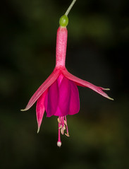 Fuchsia (tresed47) Tags: 2017 201707jul 20170705longwoodflowers canon7d chestercounty content flowers folder fuschia july longwoodgardens macro pennsylvania peterscamera petersphotos places ringflash season summer takenby technical us ngc npc