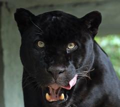 jaguar Mowgli Artis BB2A6869 (j.a.kok) Tags: mowgli artis animal mammal zoogdier dier jaguar zwartejaguar blackjaguar kat cat zuidamerika southamerica pantheraonca