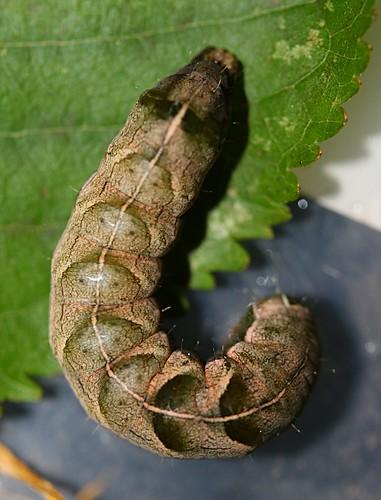 dot moth caterpillar - melanchra persicariae