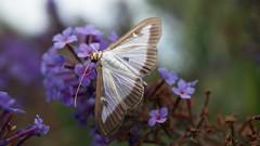 La très nuisible Pyrale du Buis (passionpapillon) Tags: macro insecte jardin papillon butterfly farfale mariposa pyraledubuis cydalinaperspectalis passionpapillon 2017