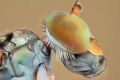 Longlegged Flies - Dolichopodidae (embebu) Tags: stacking stacker focus focusing flies fly flie macro macrophotography magnification mp65 macrography stack studiomacro stage studio canon s