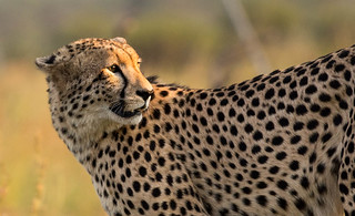 Portrait of a cheetah (Acinonyx jubatus) - Pilanesberg, South Africa