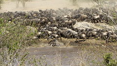 Migracao GNU - Travessia do Rio Mara 10 (Joao Pena Rebelo) Tags: tanzania gnus wildebeest migration safari serengeti wildebeests marariver