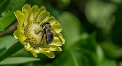 _DSC0394 (johnjmurphyiii) Tags: 06107 bees connecticut elizabethpark garden insect originalnef summer tamron18400 usa westhartford flowers johnjmurphyiii macro