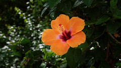 Hibiscus (Franck Zumella) Tags: fleur flower red orange rouge green vert couleur color hibiscus