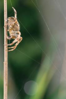 Cross Spider | Kreuzspinne (Araneus)