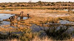 Elephants on the Boteti River, Botswana (donnatopham) Tags: laroolatau botswana