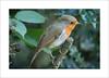 Robin ( Erithacus rubecula ) (prendergasttony) Tags: nature outdoors nikon elements d7200 tree small pennington ƒ56 3000 mm iso320 wild wildlife park counrtyside digital beak framing lancashire frame border closeup waterproof feathers birding britain uk colourful sunlight avian bird rspb dof wood macro robinerithacus rubecula european