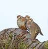 Red Legged Partridges (gill.mclennan1) Tags: canon nature birds partridges redlegged