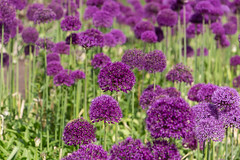 Large group of purple aliums (Carol Spurway) Tags: chatsworth house treasure houses england bakewell derbyshire chatsworthhouse treasurehousesofengland hha historichousesassociation hh historichouses