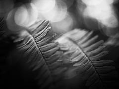 Fougères. (steph20_2) Tags: panasonic gh3 lumix monochrome monochrom m43 45mm bois bokeh plante végétal fougère noir noiretblanc ngc blanc black bw white skanchelli