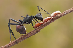 IMG_3785 Polyrhachis sp. ant. (omtelsimon) Tags: ant polyrhachis formicidae specinsect