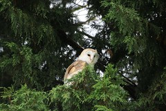 My first ever barn owl ! (aaron19882010) Tags: barn owl hunter kill small animal silent flyer flight white feathers brown wings round eyes green fir tree conifer outdoors outside nature wildlife wild bird prey photo photography photograph fields hedgerows canon 750d sigma 150mm 600mm camera lens