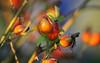 The Rosehips are here! (Rolf-Schweizer) Tags: rosehips hagubtten herbst autumn artphotography art rolfschweizerfotografie rolfschweizer schweiz swiss switzerland bauernverband bauer thechurchofjesuschristoflatterdaysaints toggenburg gettyimage getty fotografie flickr farben fresh frost life nature naturephotography