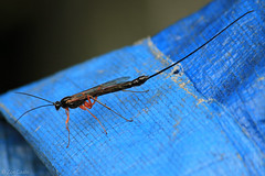 Ichneumon wasp (possibly Ephialtes manifestator) (ζoetrope) Tags: weird wasp ovipositor female ichneumon parasitic insect
