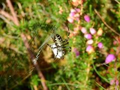 Wasp Spider (Argiope bruennichi) (Nick Dobbs) Tags: arachnid spider wasp argiope bruennichi outdoor depth field animal insect heath heathland dorset