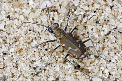 Colorful Bronzed (brucetopher) Tags: bronzed tigerbeetle tiger beetle cicindela beach beachtigerbeetle insect bug critter creature tiny beauty beautiful pattern elytra maculations shell camouflage fast elusive animal outdoor colorful shiny sand habitat