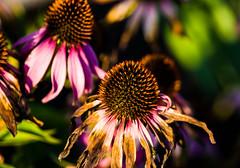 17-09-16 sonauf echin blü  alt bokeh nah  dsc08442 (u ki11 ulrich kracke) Tags: blütealt bokeh echinacea nah sonnenaufgang 7dwf