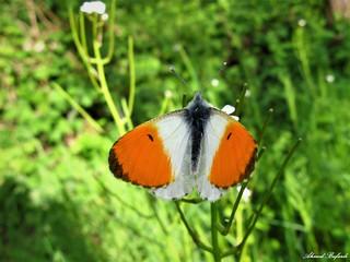 Butterfly 1443