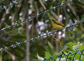 Olive backed sunbird  - Feathered friend on the fence!