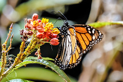 monarch butterfly (Paul Wrights Reserved) Tags: monarch butterfly monarchbutterfly flower cactus leaf perched feeding wings patterns spotted bokeh eyes closeup veins bright colours multicoloured theunforgettablepictures