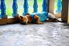 ,, Update on Mama ,, (Jon in Thailand) Tags: blue green jungle themonkeytemple thedogpalace mama dog k9 nikon nikkor d300 175528 updatemama monkeyattack monkeywounds primateattack mamasinjuries mamaspajamas mamaswounded dogpajamas mamasweak mamassick dogears brutalmonkeyattack littledoglaughedstories