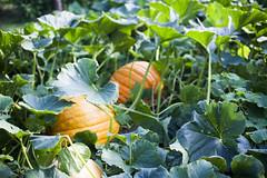 2017 (agnes.saabythomsen) Tags: fødselsdag herlev græskar pumpkin efterår fall