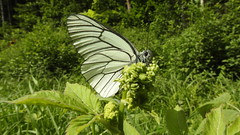 Black-veined White (Aporia crataegi) (eerokiuru) Tags: blackveinedwhite aporiacrataegi baumweisling põualiblikas butterfly