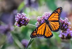 Goin' Away... (Portraying Life, LLC) Tags: dbg6 da3004 hd14tc k1 michigan pentax ricoh unitedstates butterfly closecrop handheld nativelighting matthaeibotanicalgardens