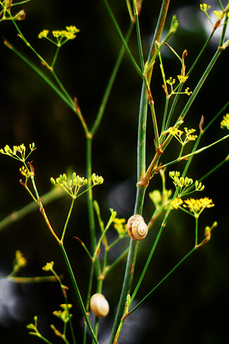 Foeniculum vulgare Milll