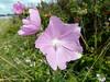 Rosen-Malve (Maritime Fotografie) Tags: sommerblume wiesenblume wildblume flora biotop blume flower martin tolle nature natur wiese makro pflanze norddeutschland germany garten rosenmalve malva alcea siegmarswurz